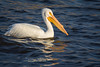 American White Pelican on the Mississippi River by jeff_a_goldberg