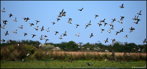 duck nikon louisiana teal d750 welsh drake cite 2014 greenwingedteal anascrecca bluewingedteal anasdiscors cinnamonteal anascyanoptera jeffersondavisparish gwte