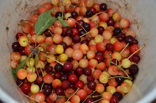 cherries July 15
