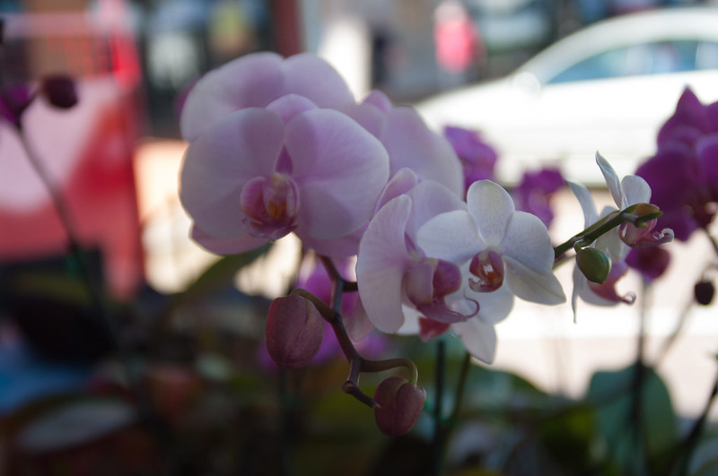 Orchid at the Cleveland Markets, Brisbane QLD Australia 20150802-VPR00331.jpg
