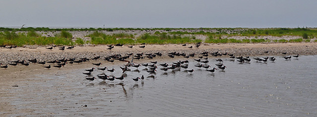 Black Skimmers (Rynchops niger) (1)