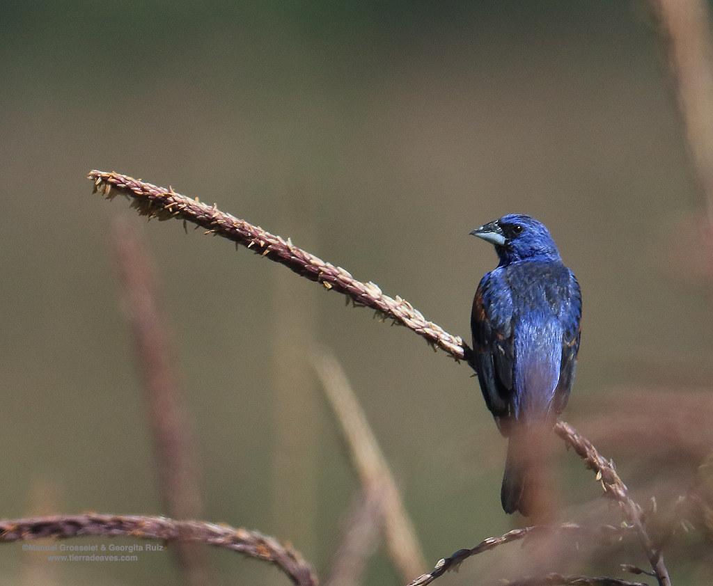 Blue-Grosbeak-Male6730