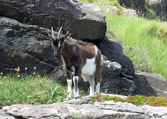 Feral Goat - Capra hircus