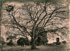 Great tree in Panama Viejo