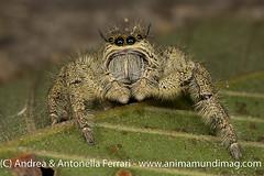 Jumping spider Hyllus cf. diardi, family Salticidae