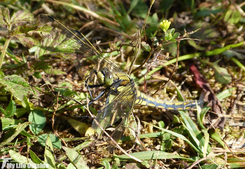 P1130682 - Black-tailed Skimmer, Kenfig NNR