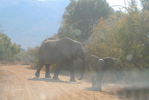 Baby elephant trumpeting at our car intrusion