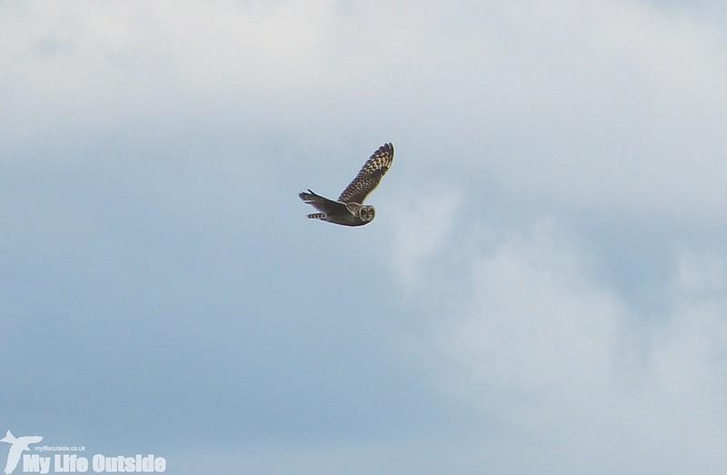 P1150040 - Short Eared Owl, Ilkley Moor