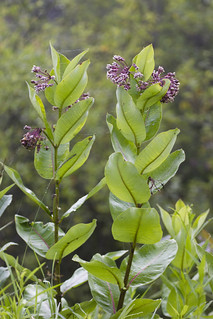 IMG_5132-Common Milkweed