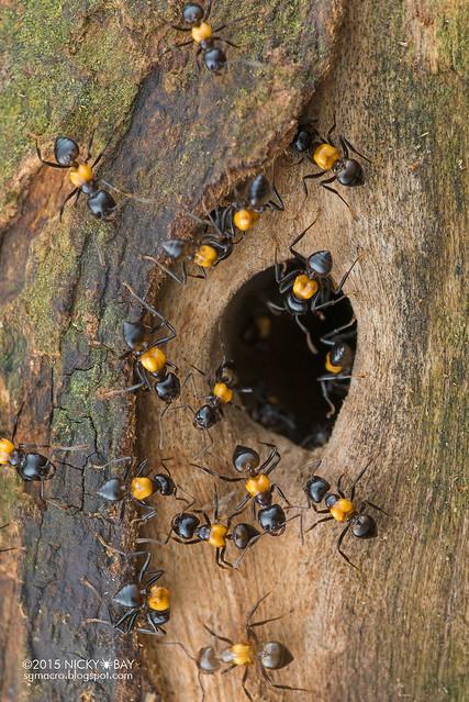 Ants (Crematogaster inflata) - DSC_5626