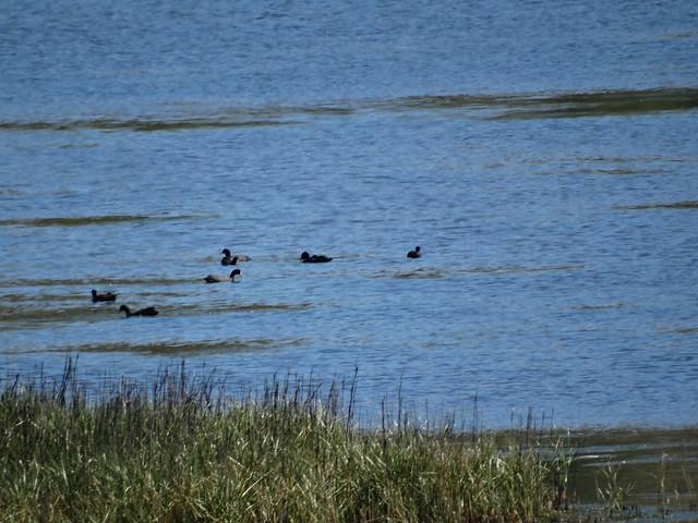 Aves en la laguna de As Xarfas