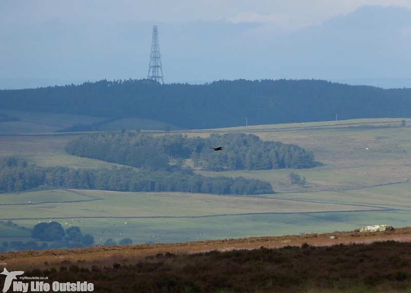 P1150029 - Marsh Harrier, Ilkley Moor