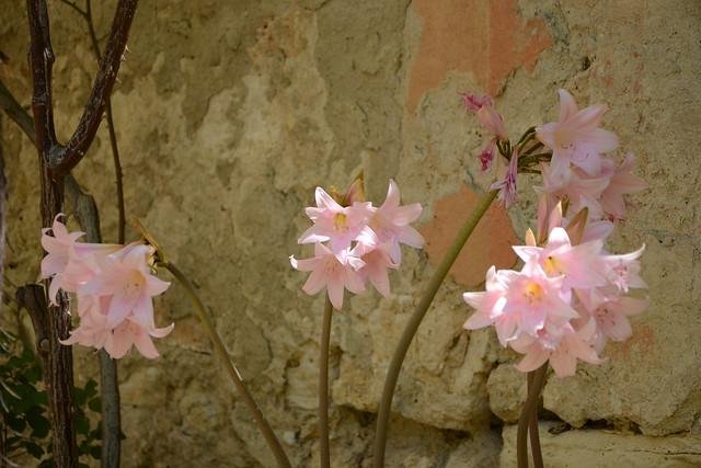 Amaryllis belladona - Page 2 31830731223_5025b09032_z