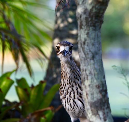 bushstonecurlew curlewportrait