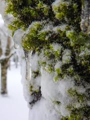 Mossy Icicles Macro 3 -  Snowpocalypse 2017_38