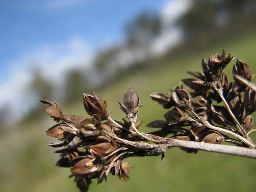 Juncus acutus flower NC2