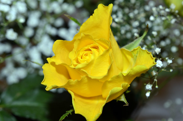 Yellow Rose  (16) on the Tables Christmas day
