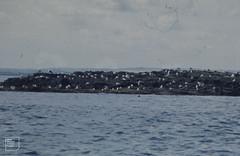 Great black-backed gull, Lesser black-backed gull, seals, Longstone Island, Farnes, August 1974