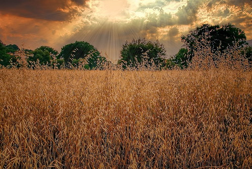 _golden field_
