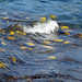 yellow tangs seen through the water's surface