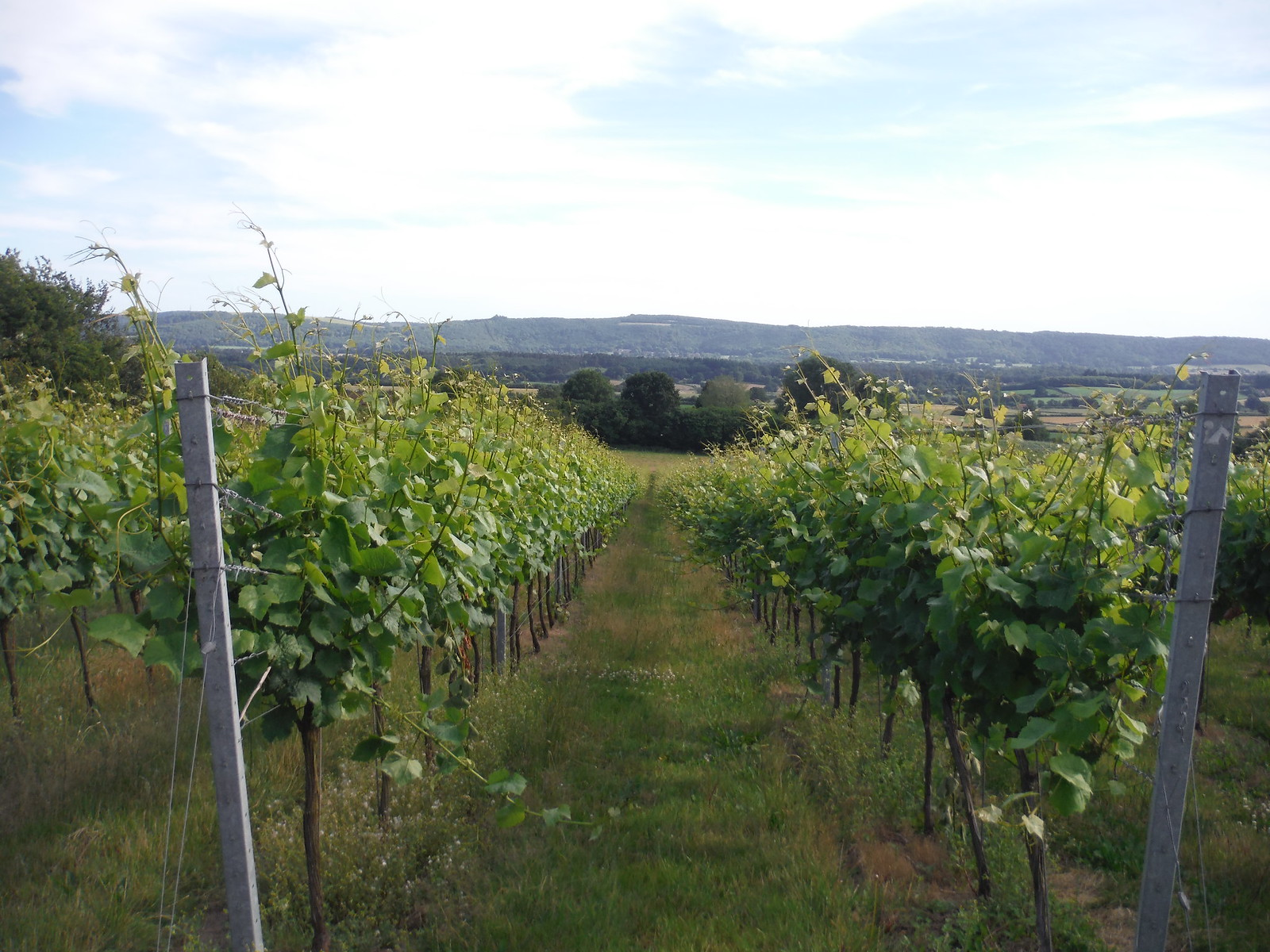 Upperton Vineyard with South Downs SWC Walk 217 Midhurst Way: Arundel to Midhurst