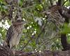 Juvenile Black-Crowned Night Heron Siblings