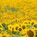 Sunflower Wave by CraigGoodwin2