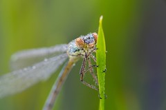 The world 39 s best photos of insectes and matin flickr - Insecte vert volant ...