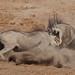 Warthog Etosha Namibia TY_BB0T8612 by YOYO182