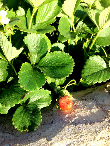 Strawberry in progress