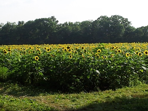 Sunflowers at McKee-Beshers Wildlife Management Area
