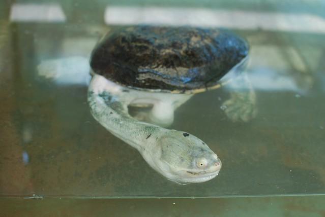 Snake head turtle - it's so cartoony!