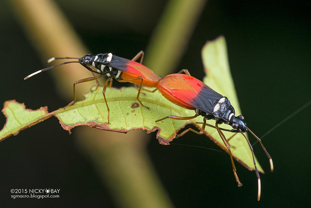 Red bugs (Pyrrhocoridae) - DSC_5587