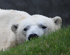 polar bear(0.0), grizzly bear(0.0), animal(1.0), polar bear(1.0), snout(1.0), mammal(1.0), fauna(1.0), bear(1.0), wildlife(1.0),