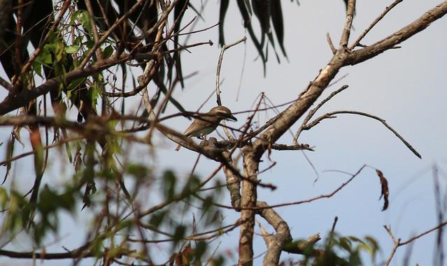 Common Woodshrike1