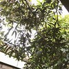 #home is where I can find #mango #tree