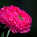 an insect and a rose by monzur.hassan