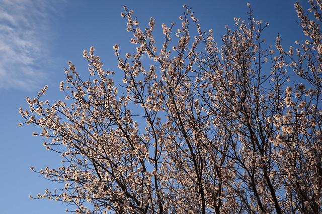 Prunus dulcis - amandier 31447660044_f30abcc6ab_z