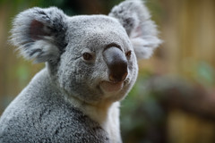 Koala Looking to the Side