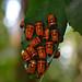 Small photo of Beetle family, likely Chrysocoris