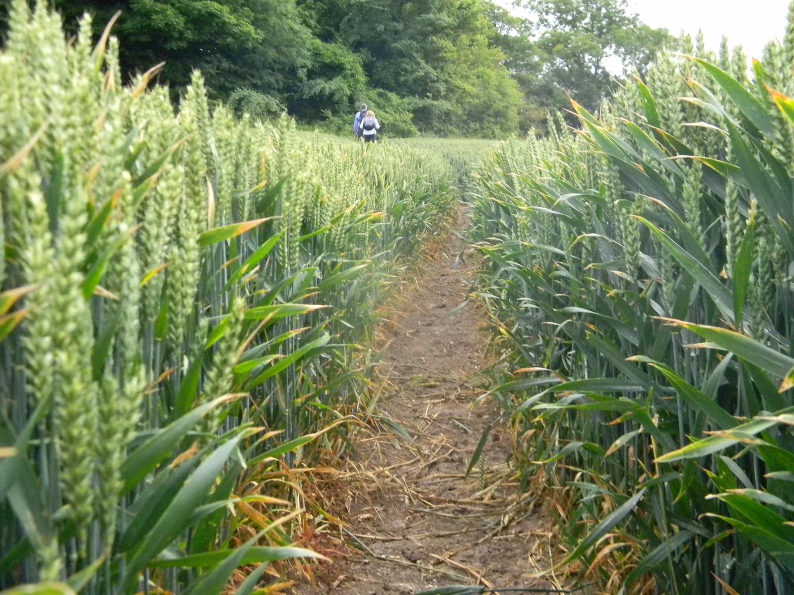Through wheat Lewes to Berwick