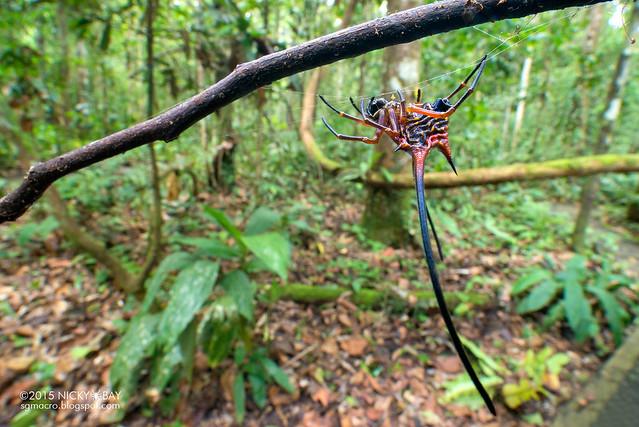 Long horn orb weaver (Macracantha arcuata) - DSC_4399
