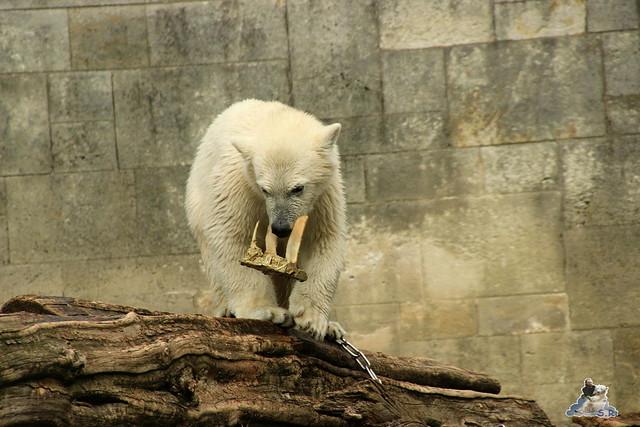 Eisbär Fiete im Zoo Rostock 11.07.2015  0293