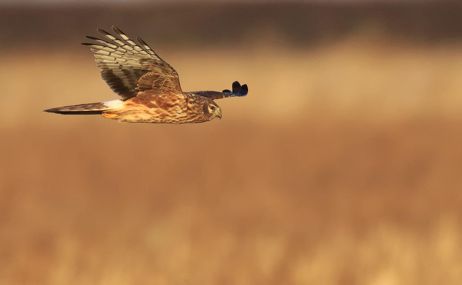 Hen Harrier [ Ringtail]