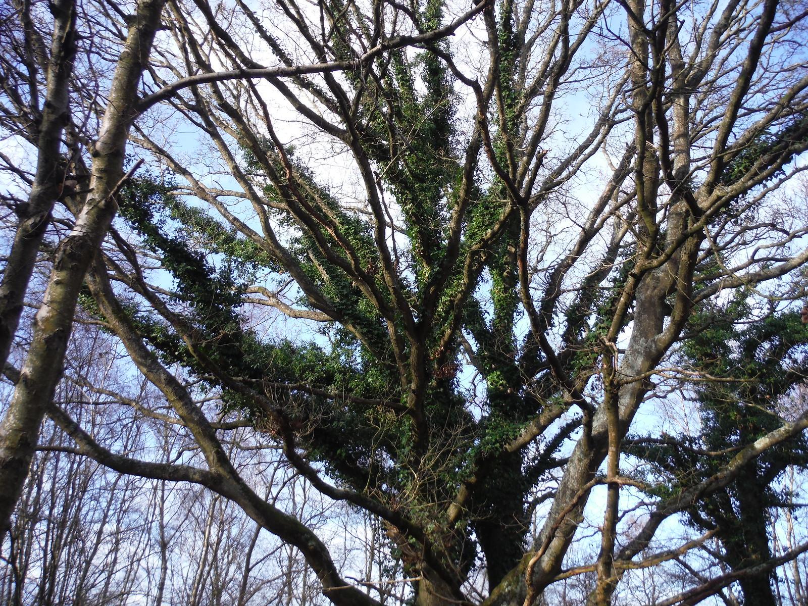 Furried Tree SWC Walk 34 Newbury Racecourse to Woolhampton (Midgham Station)