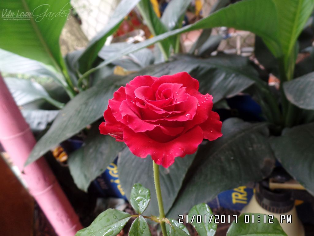 giam canh da lat mua tu shop hoa (5)-vuonhongvanloan.com