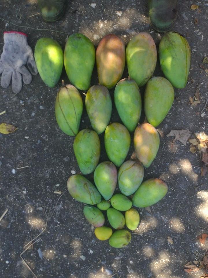 採摘蟲蟲吃剩的芒果,也很大顆