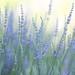 Lavender Festival 6.20.15 8 by Marcie Gonzalez