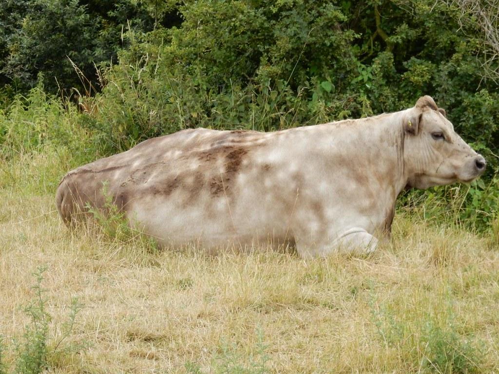Dappled cow Godmanchester nature reserve Huntingdon Circular (long)