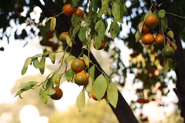 05. Citrus | The August Break 2015